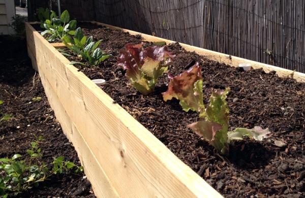 Back Garden Bed Lettuce