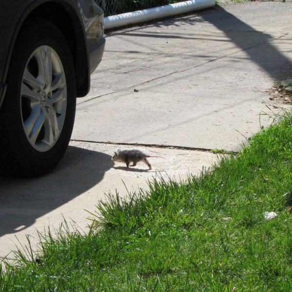 Yard Rat