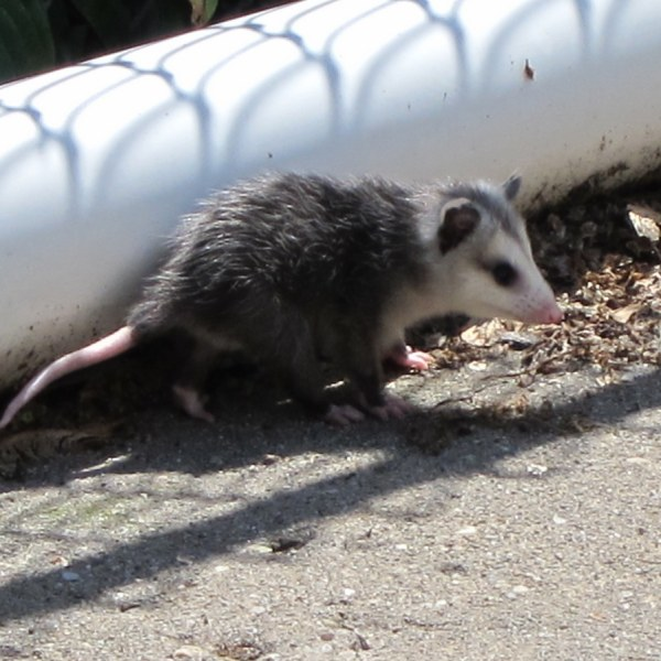 Driveway Possum