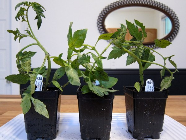 Burpee Tomato Plants