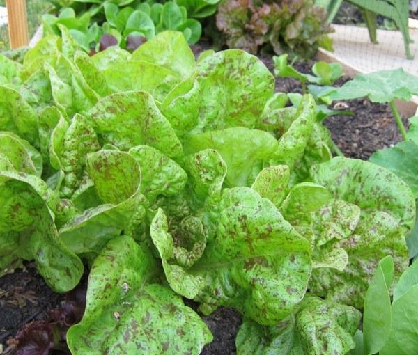 Lettuce Week: Thursday