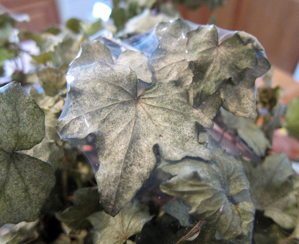 Spider Mites on Ivy Leaves