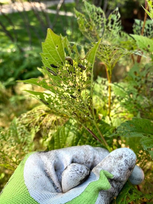 Cranberry Virburnum Beetles